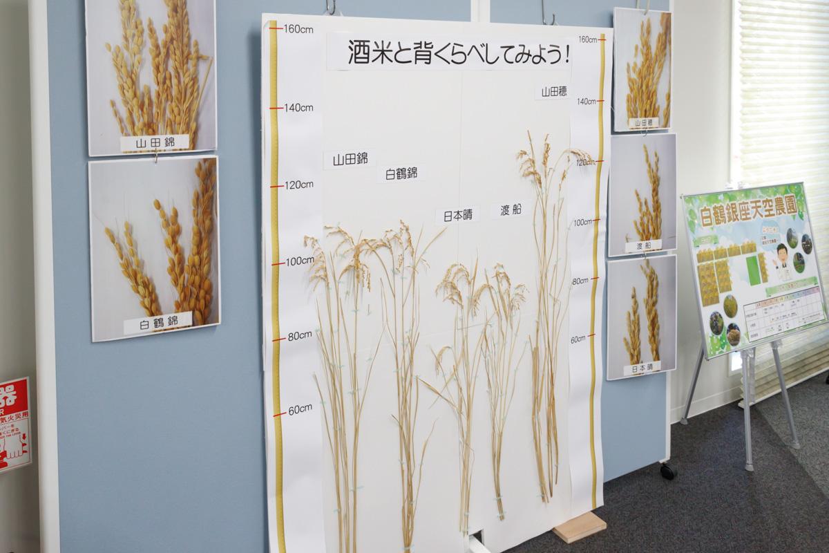 ひときわ背の高い山田穂は、栽培時倒れやすいことから長らく生産が休止されていました